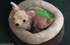 funny images of chihuahuas - Google Search
