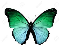 butterflies flying: Morpho green butterfly , isolated on white Stock Photo