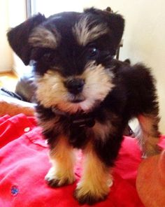 Teacup Schnauzer... so sweet! I kinda want one, and this is very strange for me