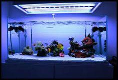 cianobacteria aquario marinho - Pesquisa Google