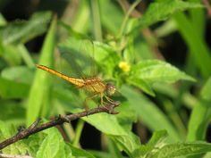 A Damselfly or a Dragonfly