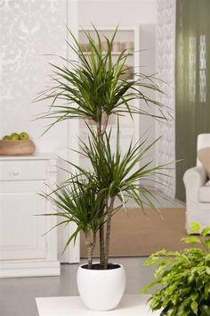 House Plants Decor, Plant Decor, Dracena Plant, Marginata Plant, Front Porch Plants, Ficus Elastica, Decoration Plante, Indoor Gardening, Container Gardening