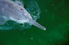 Amateur conservationists say they may have seen a Yangtze river dolphin in China. Here's why you should be skeptical.