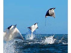 Flying Rays Cayman Islands www.passengerpicks.com