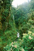 Aspecto de la selva nublada en el límite superior del bosque que está en contacto con el subpáramo. Algunas rosetas de frailejón y de helechos arborescentes se entremezclan con los árboles.