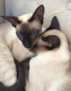 Love my Siamese Simease Cats, Siamese Kittens, Pretty Cats, Beautiful Cats, I Love Cats, Cool Cats, Oriental Shorthair Cats, Oriental Cat, Cat With Blue Eyes