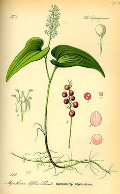 Illustration Maianthemum bifolium0.jpg