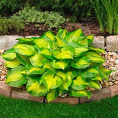 "Lakeside Banana Bay Hosta  Product Information:  Light: Full to partial shade  Height: Foliage-8"", with flower-10""  Bloom Time: Summer  Size: Bareroot  Zones: 3 to 8"