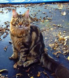 I want one..or two..in the near future! Maine Coon kittttties