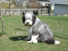 bearded collie--  I will forever miss my Pepper!  :(