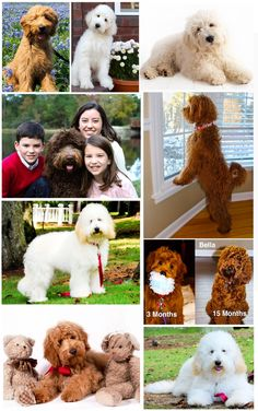 These are F1B Teddy Bear Goldendoodle / English Goldendoodles from Smeraglia