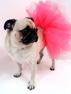 Bristol is lucky I don't do put her in a tutu and torture her! Even tho this is cute!