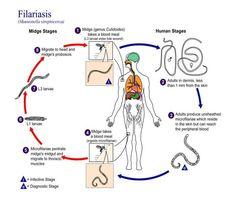Filariasis life cycle