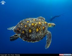 Coexisting With Nature / Green Sea Turtle in Moalboal - Cebu - Philippines