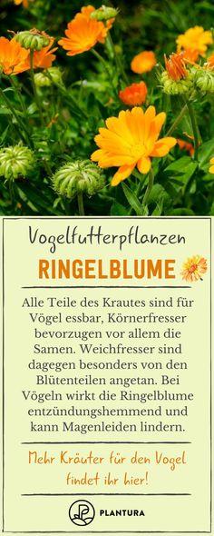 Die Ringelblume wird von Vögeln gerne gefressen. Das Kraut hat eine entzündungshemmende Wirkung und ist gut für den Magen. #ringelblume #entzündungshemmend #Magen #vögel Herbs, Running Away, Marigold Flower, Plants, Health, Florals, Herb