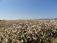 Cotton and blue sky, near McGehee, Arkansas (photo by Allison Starnes Tilley, September Eureka Springs, Hot Springs, King Cotton, Places In America, Cotton Fields, Natural Wonders, Where To Go, Us Travel, Arkansas