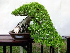 Ficus extraordinario.jpg (736×552)