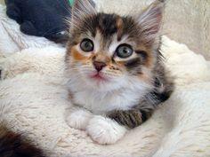 calico kittens   Calico Kitten Cute foster calico kitten