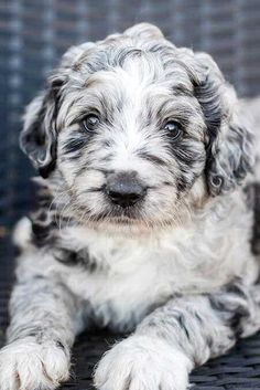 Fall in love with these Aussiedoodle Puppies and Adult Aussiepoos! Learn everything you need to know about this awesome mixed breed pooch! Really Cute Puppies, Super Cute Puppies, Cute Baby Dogs, Cute Dogs And Puppies, Cute Baby Animals, Pet Dogs, Pets, Best Puppies, Animal Original