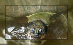Mira Fotos: tartaruga - Local da foto Manaus