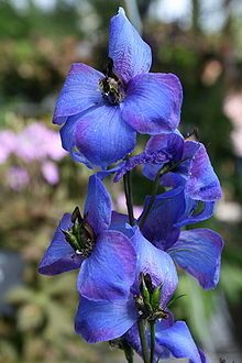 Delphinium is a genus of about 300 species of perennial flowering plants in the buttercup family Ranunculaceae, native throughout the Northern Hemisphere and also on the high mountains of tropical Africa.[1] The common name, larkspur, is shared with the closely related genus Consolida.