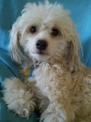 Zimmy is an adoptable Chinese Crested Dog Dog in Lansing, MI. Breed: Chinese Crested – Powder Puff DOB: 201 1Sex: Neutered Male ...  ...