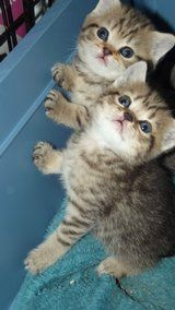 BROWN SPOTTED LIL TIGERS. - £295 each - Listed by Sell it socially     GLDI9097    has been published on Sell it Socially
