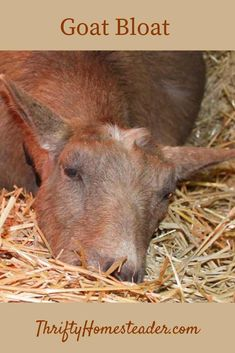 A detailed look at goat bloat - causes and symptoms and the different kinds of goat bloat that can occur. Advice and tips you can use to help goats dealing with bloat. Keeping Goats, Raising Goats, Raising Farm Animals, Home Remedies For Bloating, Nubian Goat, Goat Care, Nigerian Dwarf Goats, Goat Farming, Cattle Farming