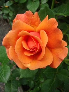 Photo of the bloom of Rose (Rosa 'Easy Does It') Beautiful Rose Flowers, Pretty Roses, Flowers Nature, Amazing Flowers, Beautiful Flowers, Yellow Rose Flower, Yellow Roses, Orange Flowers, Colorful Flowers