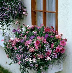 Resultado de imagem para pelargonium and petunia in window box Container Flowers, Window Boxes, Floral Wreath, Home And Garden, Windows, Wreaths, Outdoor, Image, Chata