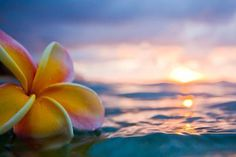 Plumeria floating in the ocean at sunset Flowers Nature, Exotic Flowers, Tropical Flowers, Beautiful Flowers, Plumeria Flowers, Hawaiian Flowers, Beach Pictures, Nature Pictures, Hibiscus