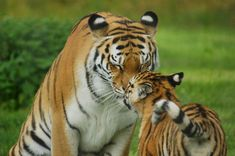 Tigers - Tender moment | by Andy Coe #BigCatFamily