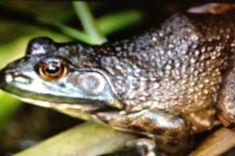 """Bullfrog Call at Spirit Lake – Minnesota, USA. Bullfrogs have a unique call consisting of a resonant series of bass notes. It originally received its name """"Bullfrog"""" from this call because it sounds similar to a bull roaring. This highly aquatic frog prefers large bodies of water for it's habitat. Click photo to play sound from www.thetouchofsound.com"""
