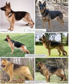 German Shepherds comes in variety of coat and colors and patterns. Some GSDs colors  are rare and unique that makes a difference. Find the list of all the coat and colors for GSDs.
