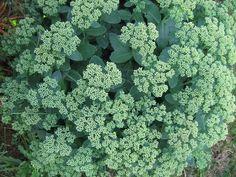 Maksaruoho Broccoli, Gardening, Vegetables, Lawn And Garden, Vegetable Recipes, Veggies, Horticulture