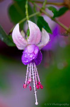 Lavender Fuchsia