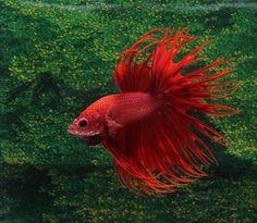 fwbettasct1469771403 - Fire Red Crowntail