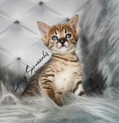 F2 savannah kitten with black nose Savannah Cat Breeders, Savannah Kittens For Sale, Savannah Chat, Serval Kittens For Sale, Kitten For Sale, Las Vegas, Exotic, Cats, Animals