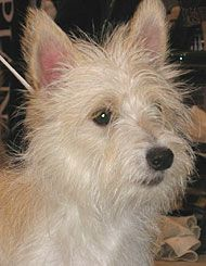 Portuguese Podengo photo | portuguese podengo hound dog - hound dog breeds from the online dog ...