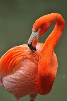 Flamingo Bonaire Caribe Want to live and work on nature and divers paradise Bonaire, Dutch Caribbean. Go to Bed and Breakfast Bonaire For Sale More information on http://bedandbreakfastbonaire.com/