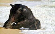 baby elephant playing in surf