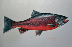 Dolly Varden Trout original painting by Goohsnest on Etsy.  A West Coast beauty of the Trout family. A nice gift for a fly fisherman.