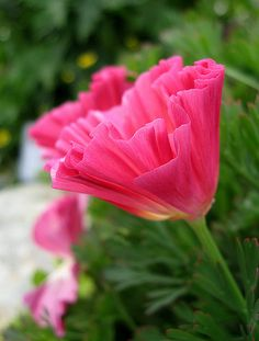 California Poppy 'Rose Chiffon'  Annie's Annuals