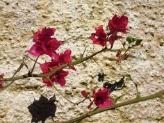 sombra do bougainville