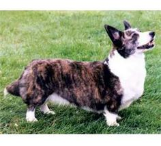"""The Cardigan Welsh Corgi was developed as early as the 10th century in Britain for driving livestock.  """"Corgi"""" means """"dog that watches over"""" in old Welsh.  The breed is so short to avoid kicks from annoyed livestock, and it retains a desire to nip at the heels of animals as well as people.  It also retains a guarding instinct & barks prodigiously at unusual noises.  Because of its desire to nip, the Cardigan is not recommended around children, but it is comfortable in an urban space."""