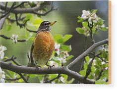 Birds - American Robin - Nature's Alarm Clock Art Print by Christina Rollo. All prints are professionally printed, packaged, and shipped within 3 - 4 business days. Choose from multiple sizes and hundreds of frame and mat options. Canvas Art, Canvas Prints, Art Prints, Johnny Jump Up, American Robin, Robin Bird, Thing 1, Clock Art, Bird Art