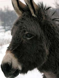 Love that sweet mule face! ♥ I learned that a donkey has floppy ears and a mule has straight ears. Good to know, Bob.