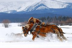 draft horses | Draft Horse Pictures, Images and Stock Photos - iStock