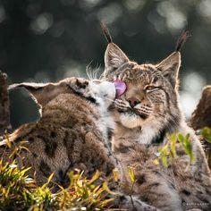 Buenos días!! Lametón de #trigres y a desperezarse #animales #felinos