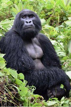 Gorilla trekking in